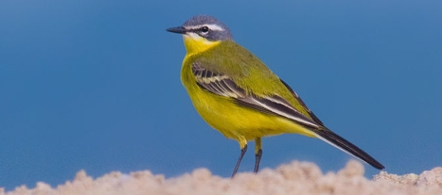 800px-Yellow_wagtail