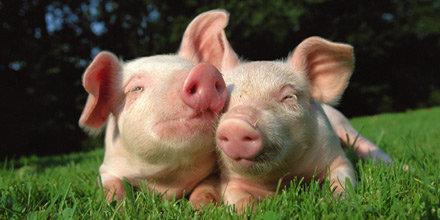 agriculture-swine-griskultingar