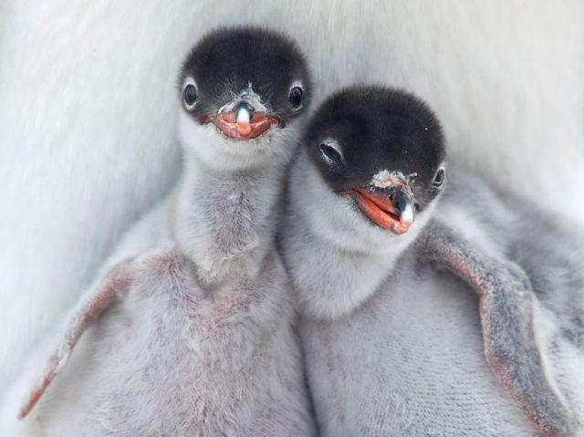 penguin-chicks-antarctica_62680_990x742