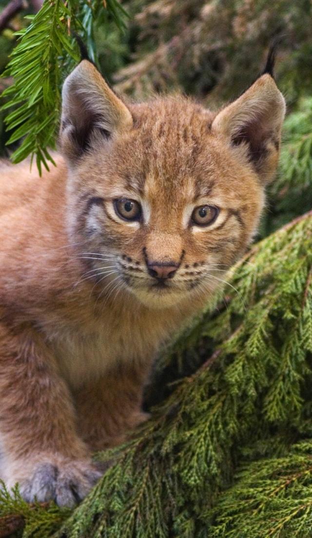 Lynx_kitten b