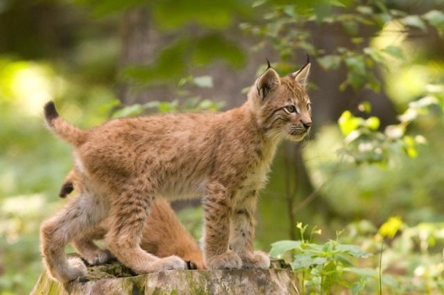 Lynx_lynx_cub_20050709