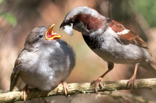 Passer_domesticus_-male_feeding_chick-8