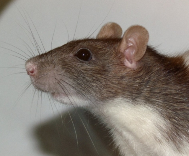 Ratte-Vache 2