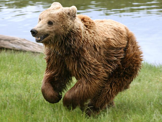 796px-Brown_bear_(Ursus_arctos_arctos)_running
