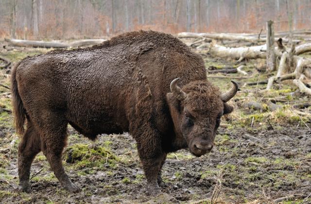 Bison_bonasus_(Linnaeus_1758)