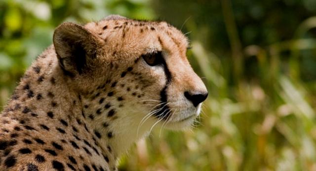 800px-cheetah44