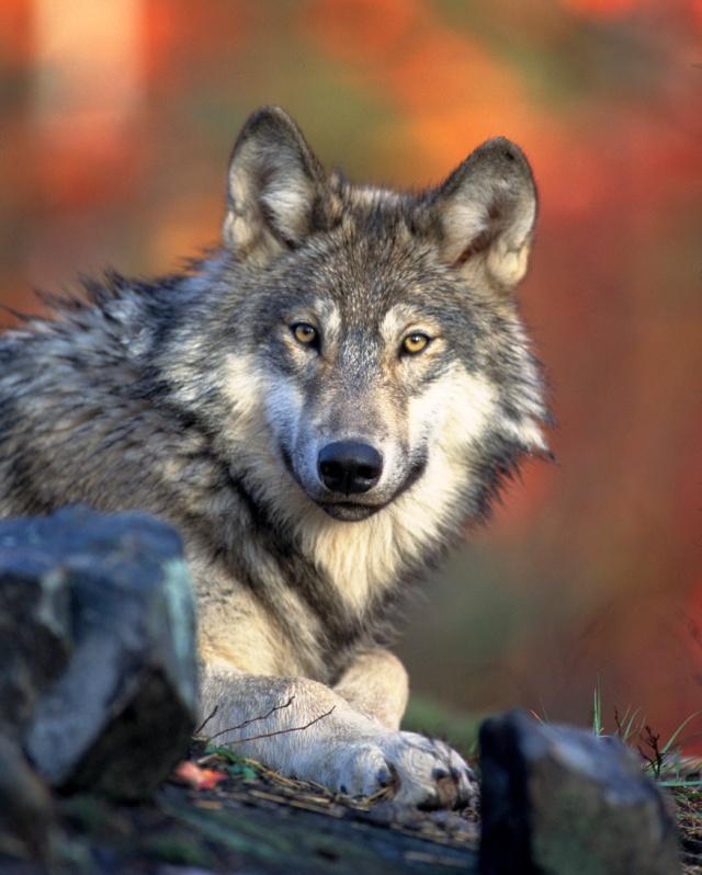 greywolffs