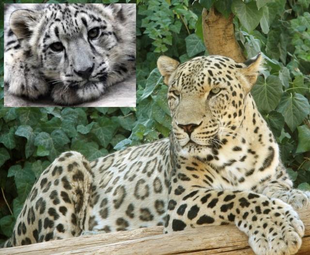 Persian_Leopard_sitting c
