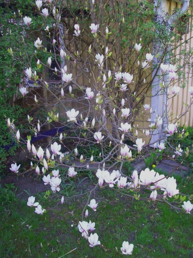 magnolia bc