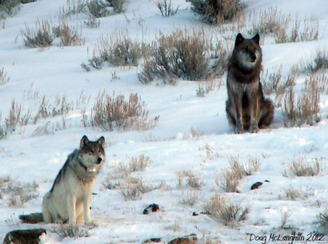 yellowstone-wolf-lamar-canyon-pack-alpha-female_832f-and-wolf-754-killed-in-the-hunts