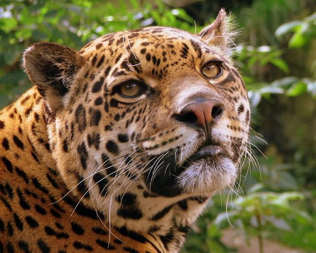 750px-Jaguar_at_Edinburgh_Zoo