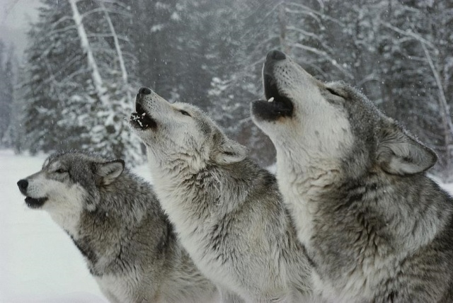 a-trio-of-gray-wolves-canis-lupus-jim-and-jamie-dutcher
