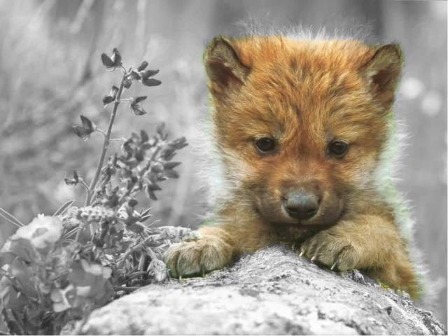 cute-wolf-cute-wolf-zone-16877346-1024-768