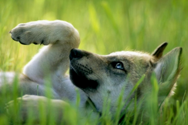 mexican-gray-wolf-398789-sw