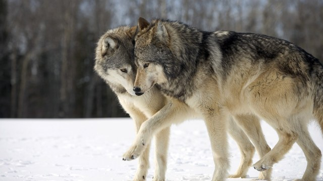 Wolves (Canis lupus) nuzzling in snow, Duluth, Minnesota, U.S.
