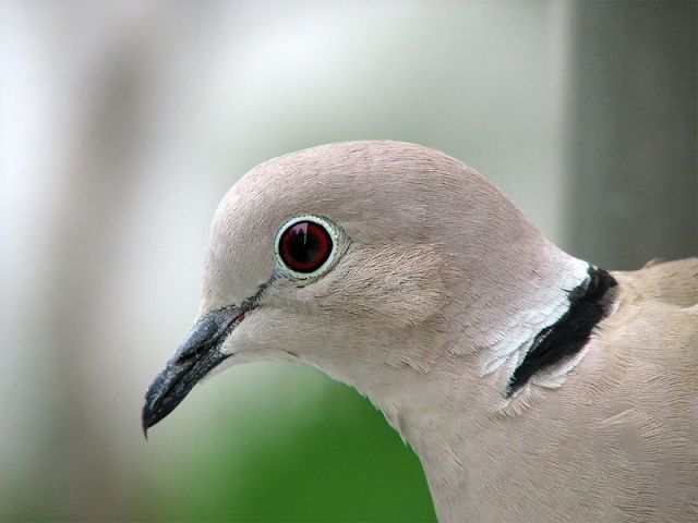 800px-Collared_Dove_-upper_body_profile-8