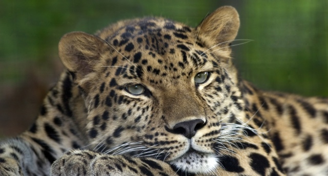 Amur_Leopard_Pittsburgh_Zoo foto Colin Hines