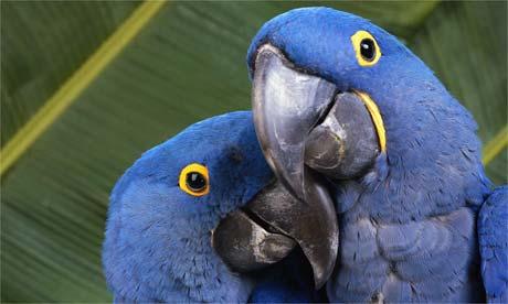 whole-dude-whole-artist-hyacinthine-macaws-anodorhynchus-hyacinthinus