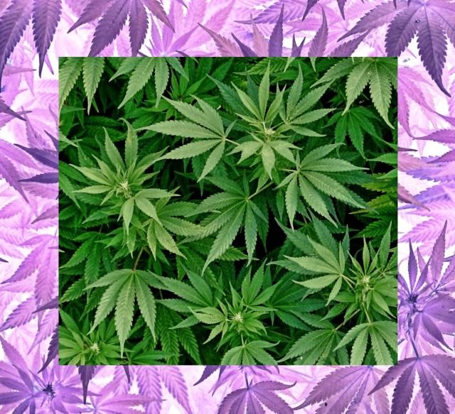 cannabis ca