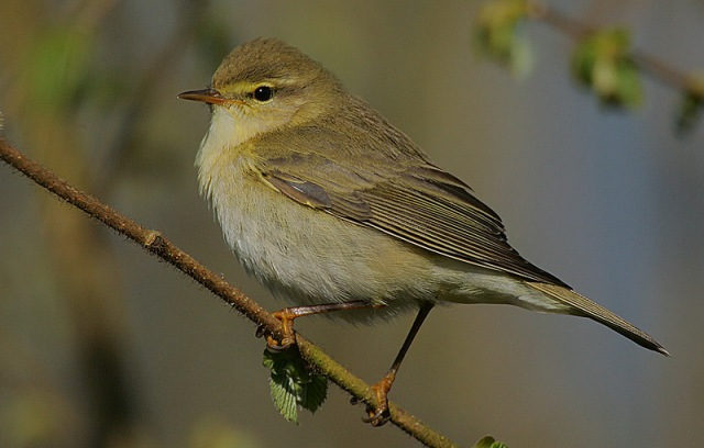 Flickr_-_Rainbirder_-_Willow_Warbler_(Phylloscopus_trochilus)