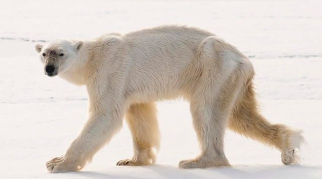 polarbear-0608_zpsnmbqnhlo