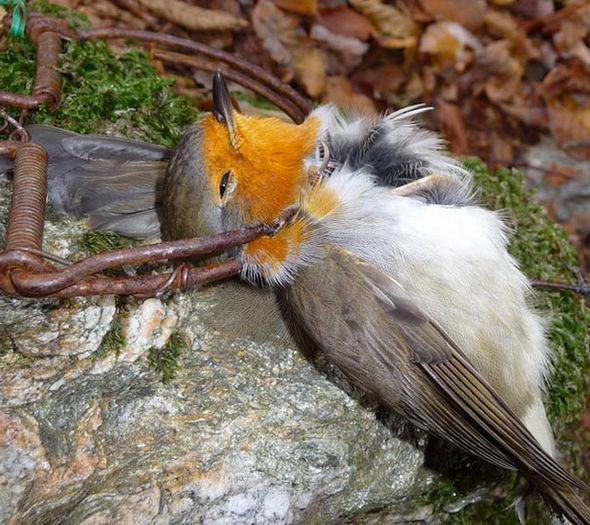 Robin-killed-trap-335387